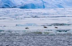 Pinguins de Adellie que deslizam em suas barrigas no mar de Weddel imagem de stock royalty free