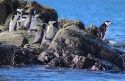 Pinguins de Chinstrap em ilhas de Shetland sul fotografia de stock royalty free