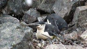 Pinguins de Chinstrap na neve na ilha da meia lua video estoque