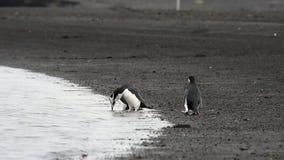 Pinguins de Chinstrap na praia filme