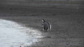 Pinguins de Chinstrap na praia vídeos de arquivo