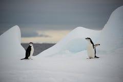 Pinguins de Chinstrap no gelo, a Antártica Imagens de Stock