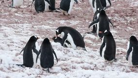 Pinguins de Chinstrap no ninho video estoque