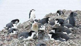 Pinguins de Chinstrap no ninho vídeos de arquivo