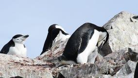 Pinguins de Chinstrap no ninho filme