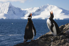Pinguins de Genntoo que fazem um atendimento de acoplamento Imagens de Stock