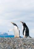 Pinguins de Gentoo foto de stock royalty free