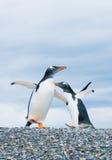 Pinguins de Gentoo imagens de stock