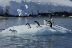 Pinguins de Gentoo Fotografia de Stock Royalty Free