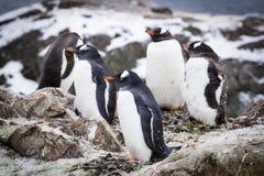 Pinguins de Gentoo imagem de stock