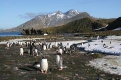 Pinguins de Gentoo fotografia de stock royalty free
