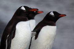 Pinguins de Gentoo, Continente antárctico Fotografia de Stock Royalty Free