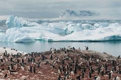 Pinguins de Gentoo do assentamento, ilha de Cuverville, península antártica imagem de stock