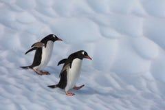 Pinguins de Gentoo em um iceberg, Continente antárctico Fotografia de Stock Royalty Free