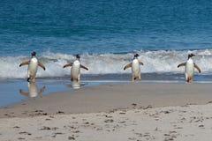 Pinguins de Gentoo - Falkland Islands Imagens de Stock Royalty Free