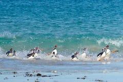 Pinguins de Gentoo - Falkland Islands Imagem de Stock Royalty Free