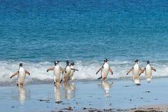 Pinguins de Gentoo - Falkland Islands Imagens de Stock