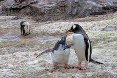 Pinguins de Gentoo, mãe e pintainho, Pygoscelis Papua, península antártica foto de stock