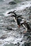 Pinguins de Gentoo, mergulhando imagens de stock