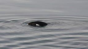 Pinguins de Gentoo na água vídeos de arquivo