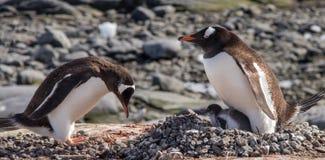 Pinguins de Gentoo na Antártica fotografia de stock