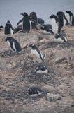 Pinguins de Gentoo na ilha de Cuverville, a Antártica fotos de stock royalty free