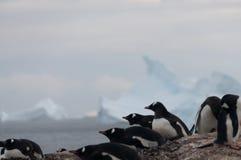 Pinguins de Gentoo na ilha de Cuverville, a Antártica imagem de stock