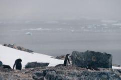 Pinguins de Gentoo na ilha de Cuverville, a Antártica fotos de stock