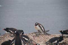 Pinguins de Gentoo na ilha de Cuverville, a Antártica foto de stock