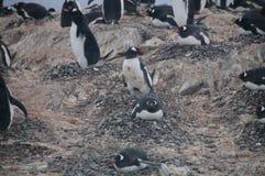 Pinguins de Gentoo na ilha de Cuverville, a Antártica imagem de stock royalty free