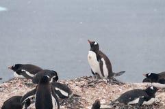 Pinguins de Gentoo na ilha de Cuverville, a Antártica fotografia de stock royalty free