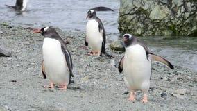 Pinguins de Gentoo na praia video estoque