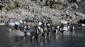 Pinguins de Gentoo na praia vídeos de arquivo