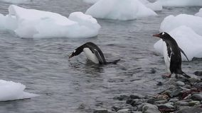 Pinguins de Gentoo no bech filme
