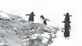 Pinguins de Gentoo no bech video estoque