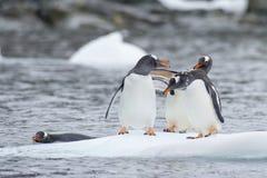 Pinguins de Gentoo no gelo fotografia de stock royalty free