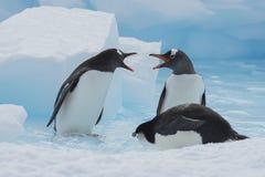 Pinguins de Gentoo no gelo imagens de stock