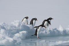 Pinguins de Gentoo no gelo foto de stock royalty free