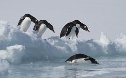 Pinguins de Gentoo no gelo imagens de stock royalty free