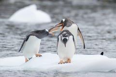 Pinguins de Gentoo no gelo fotos de stock