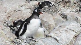 Pinguins de Gentoo no ninho filme