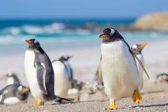 Pinguins de Gentoo, ponto voluntário, Falkland Islands imagens de stock