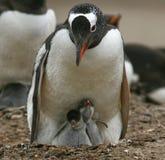 Pinguins de Gentoo (Pygoscelis papua) fotografia de stock