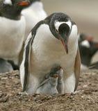 Pinguins de Gentoo (Pygoscelis papua) Imagem de Stock
