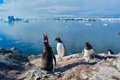 Pinguins de Gentoo que acoplam-se na Antártica fotos de stock