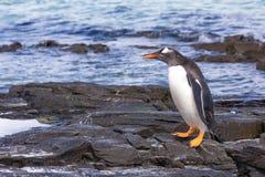 Pinguins de Gentoo que andam estando as rochas na borda da água imagem de stock