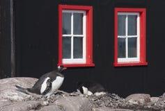 Pinguins de Gentoo que aninham-se fora da estação de correios portuária de Lockroy foto de stock royalty free