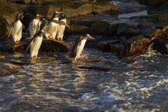 Pinguins de Gentoo que dirigem ao mar na ilha mais desolada Imagem de Stock Royalty Free
