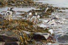 Pinguins de Gentoo que dirigem ao mar na ilha mais desolada Foto de Stock
