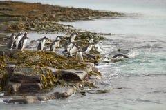 Pinguins de Gentoo que dirigem ao mar na ilha mais desolada Fotografia de Stock Royalty Free